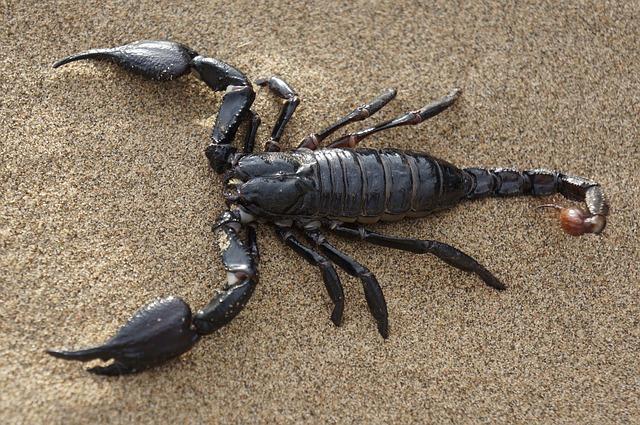 čierny škorpión na piesku